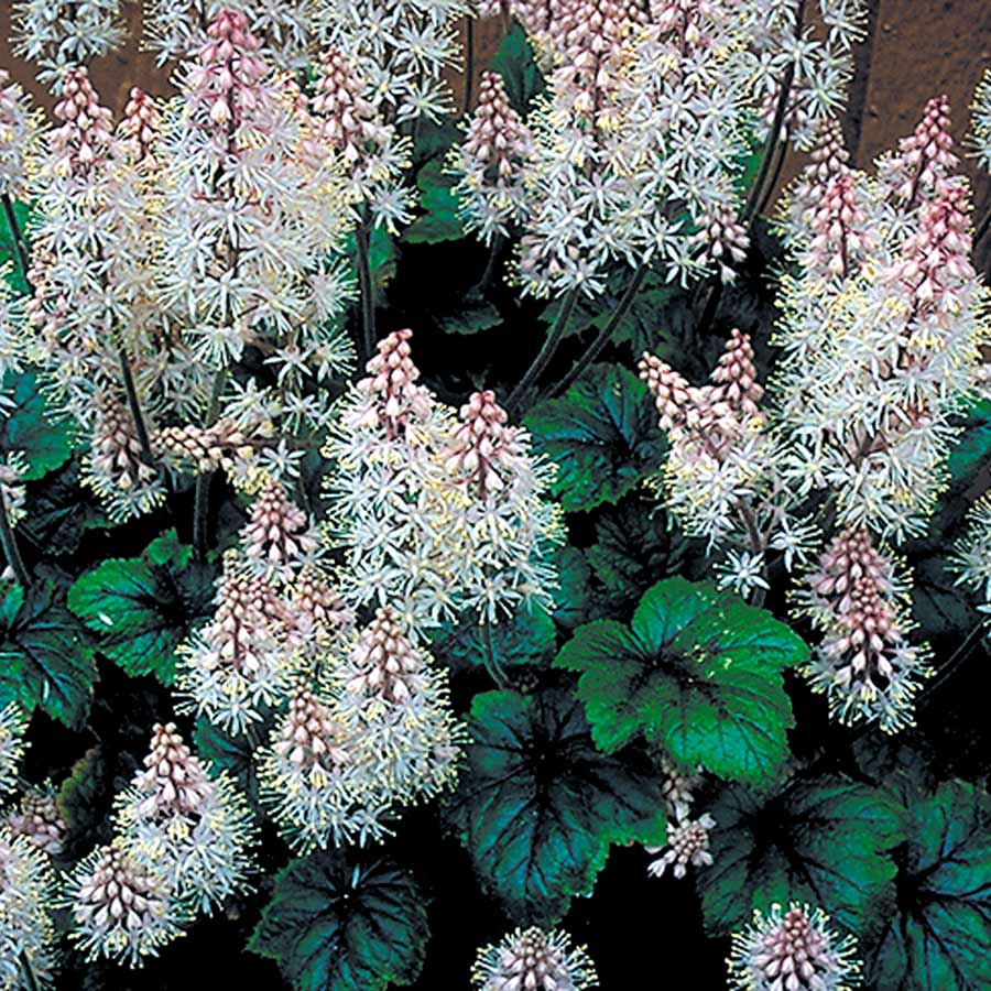 Tiarella 'Dark Eyes'