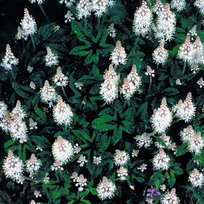 Tiarella 'Dark Star'
