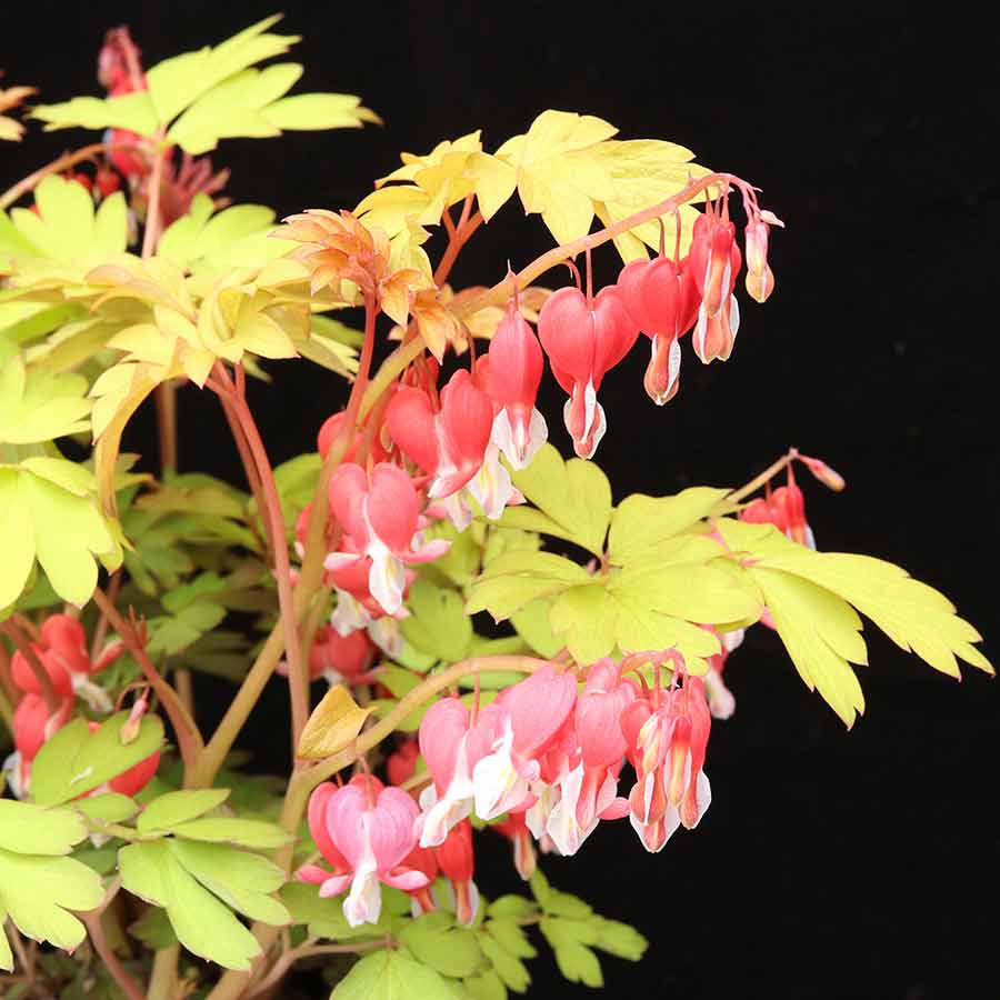 Dicentra 'Ruby Gold'