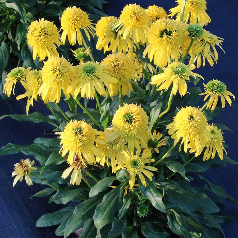 Echinacea SUNNY DAYS™ Lemon
