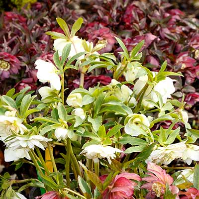 Helleborus NORTH STAR™ Crystalline