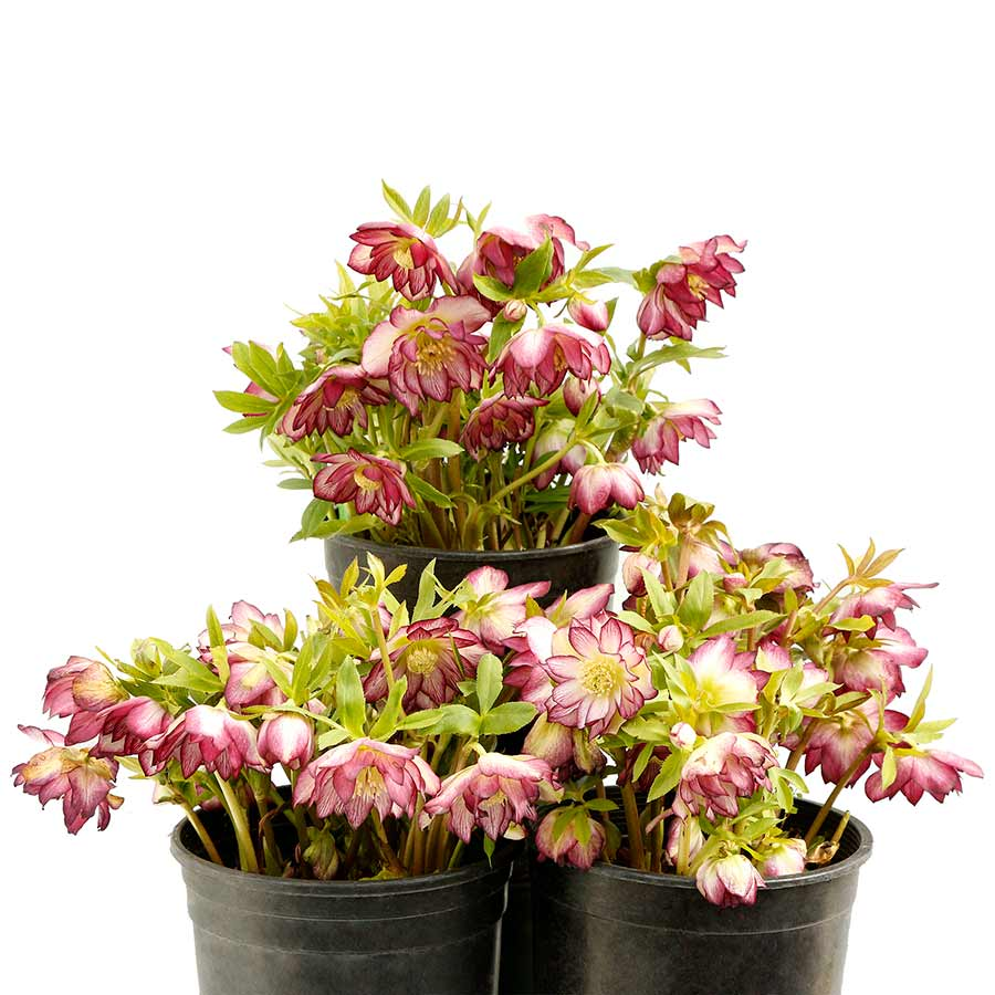 Helleborus NORTH STAR™ Garnet Frills