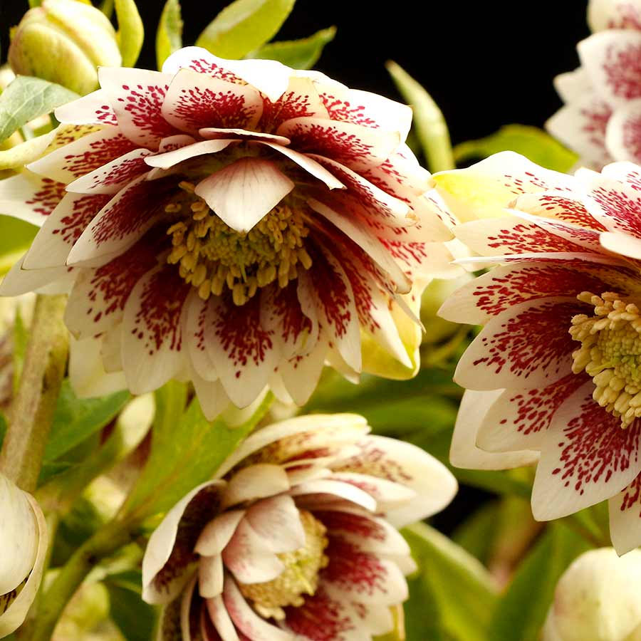 Helleborus NORTH STAR™ Ruby Heart