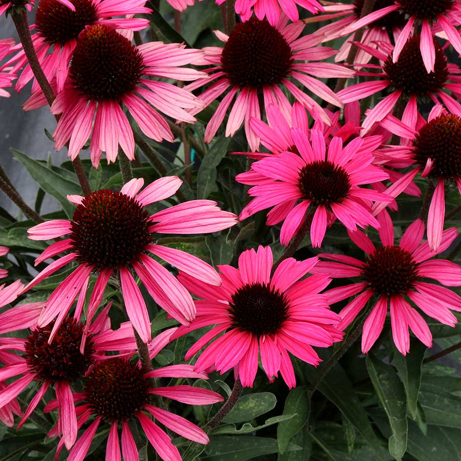 Echinacea DARK SHADOWS™ Wicked