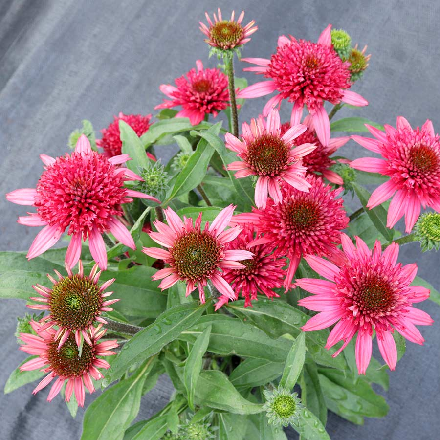 Echinacea 'Giddy Pink'