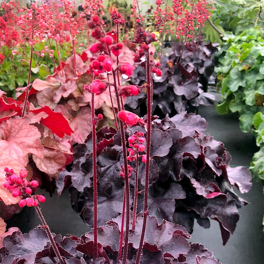 Heuchera 'Black Forest Cake'