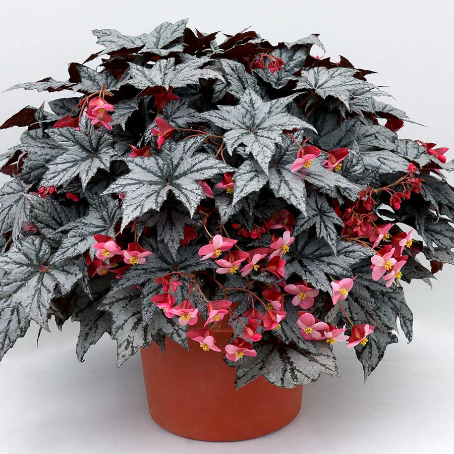 Begonia HOLIDAY™ 'New Year's Eve'
