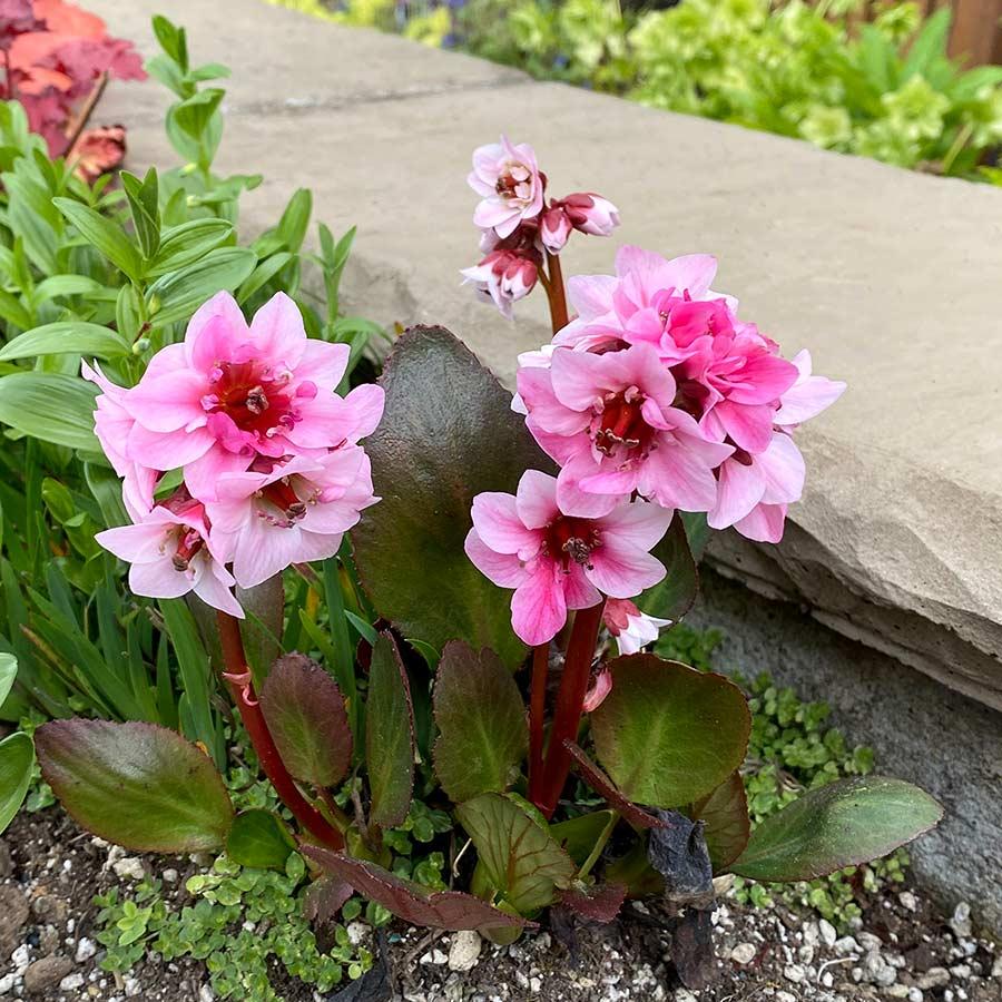 Bergenia DRAGONFLY™ 'Sakura'