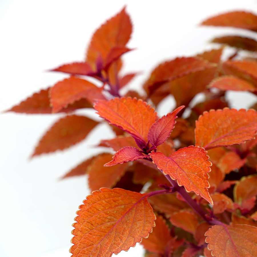 Coleus TERRA NOVA® 'Pumpkin Spiced'