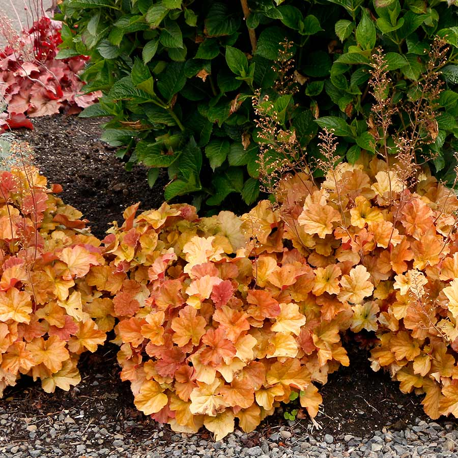 Heuchera NORTHERN EXPOSURE™ Amber