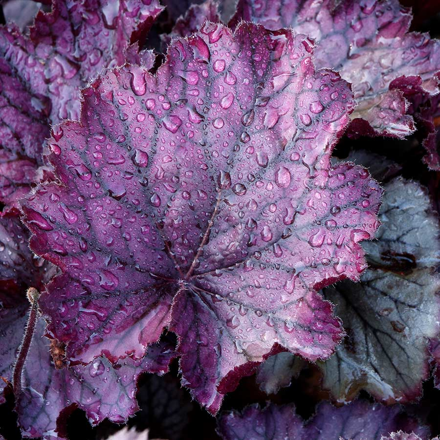 Heuchera NORTHERN EXPOSURE™ Purple