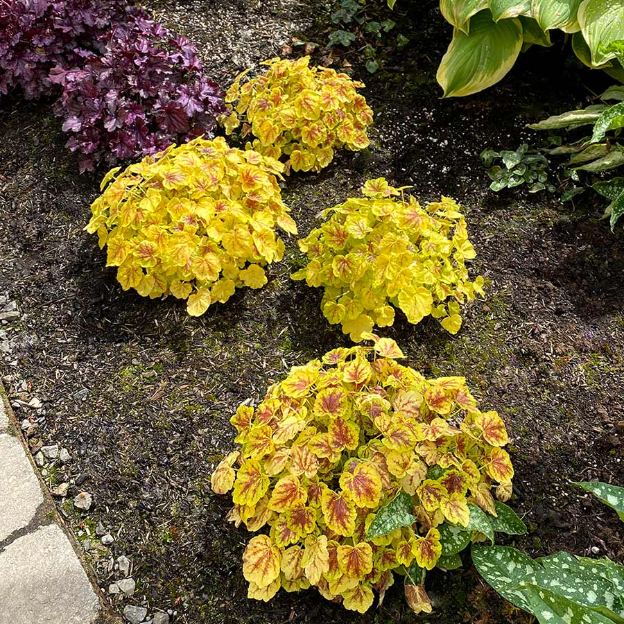 Heucherella 'Solar Power'