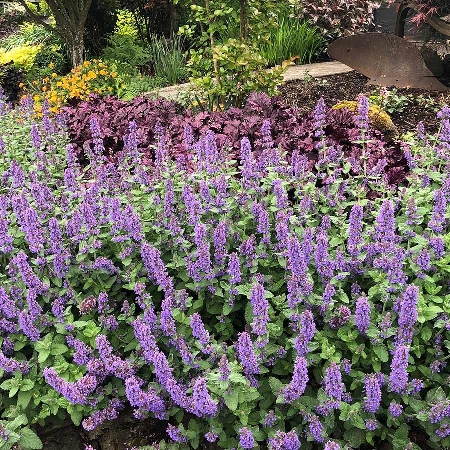 Nepeta 'Purple Haze'