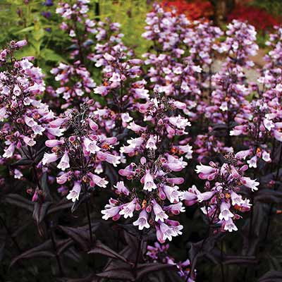 Penstemon DAKOTA™ Burgundy