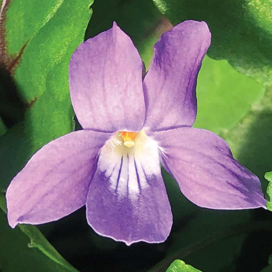 Viola 'Heartthrob'