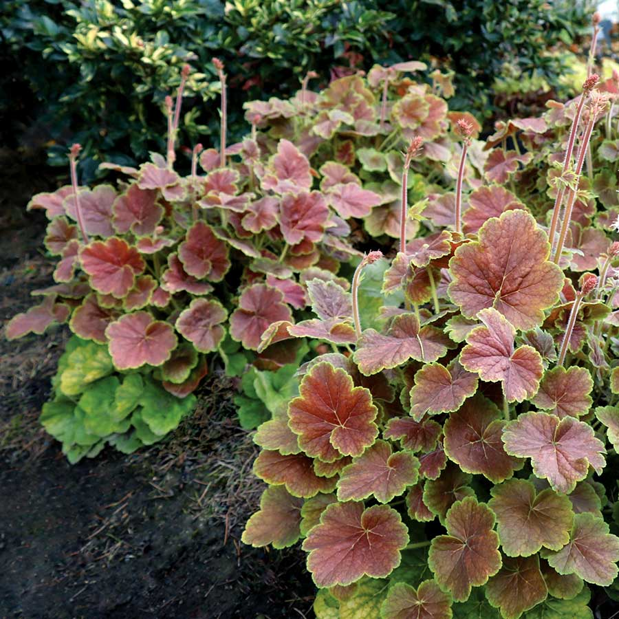 Heuchera NORTHERN EXPOSURE™ Sienna