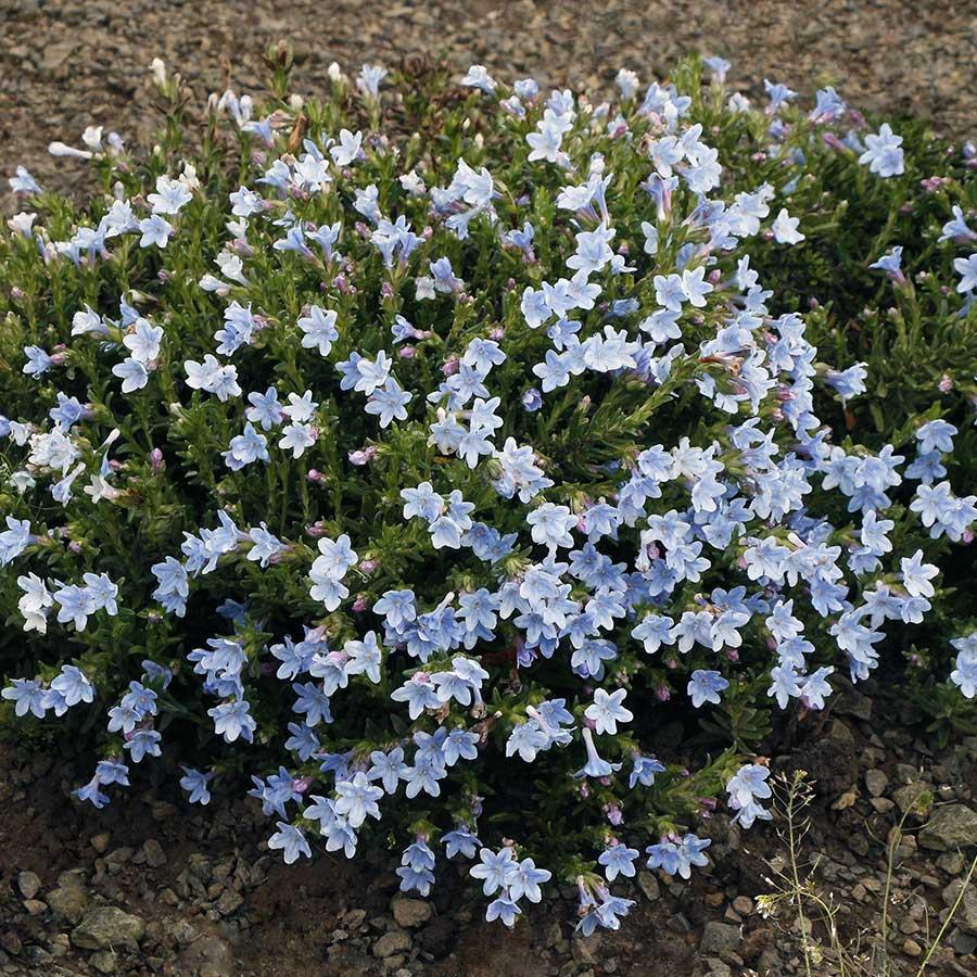 Lithodora 'Crystal Blue'