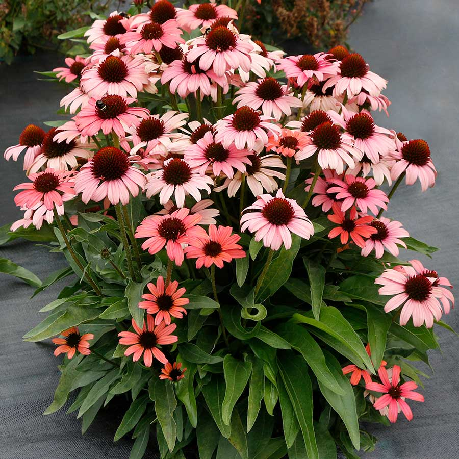 Echinacea DARK SHADOWS™ 'Mystic'