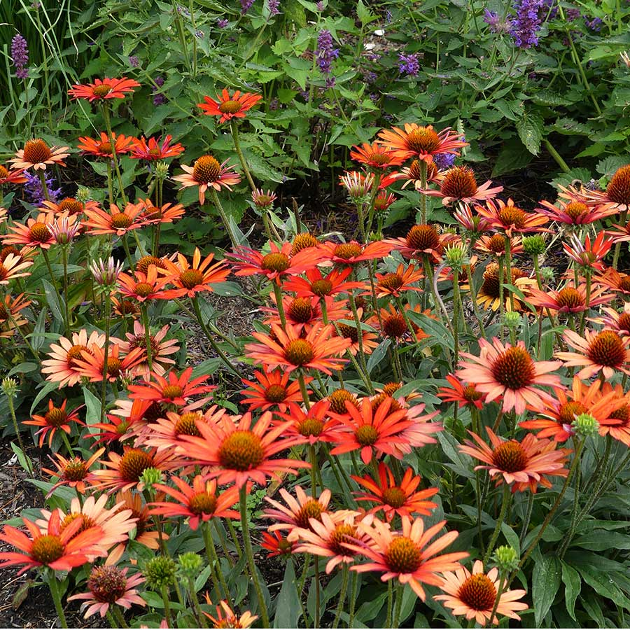 Echinacea KISMET™ Intense Orange