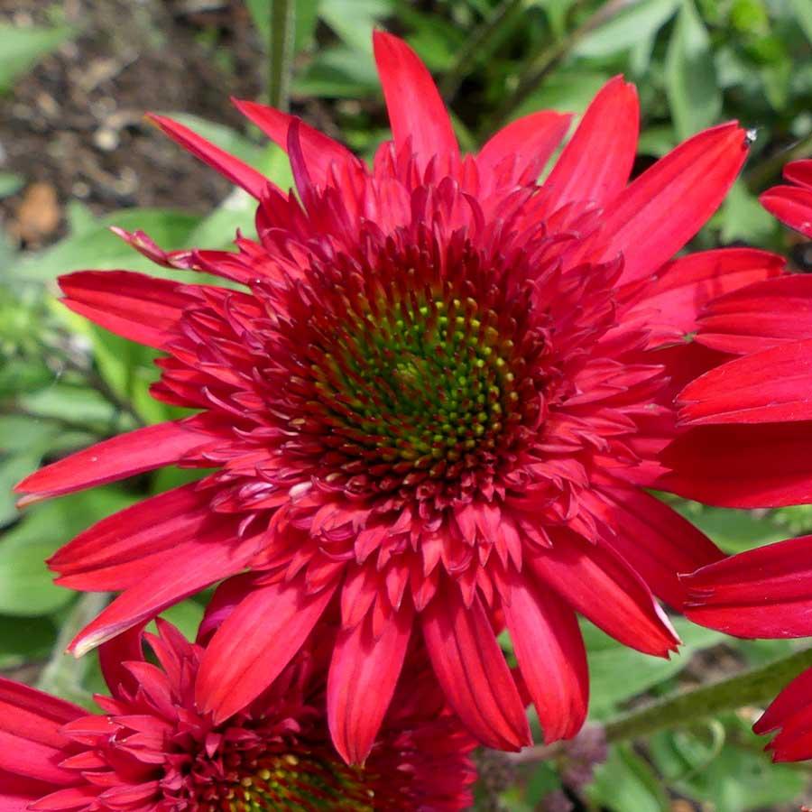 Echinacea SUNNY DAYS™ Ruby
