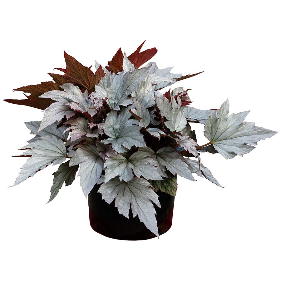 Begonia HOLIDAY™ 'Silver Bells'