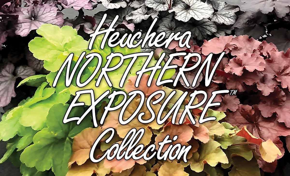 Heuchera NORTHERN EXPOSURE™ Collection